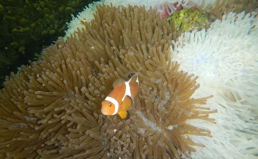 Clown Fish at Abang Island.